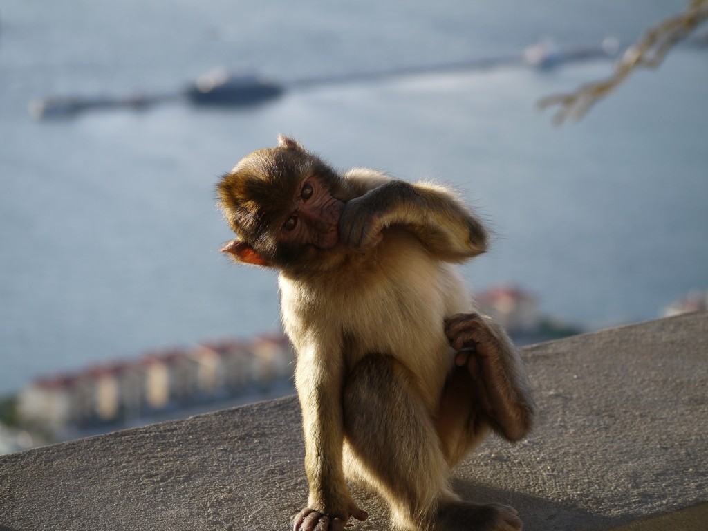 Monkey Business In Gibraltar 4 On A Trip