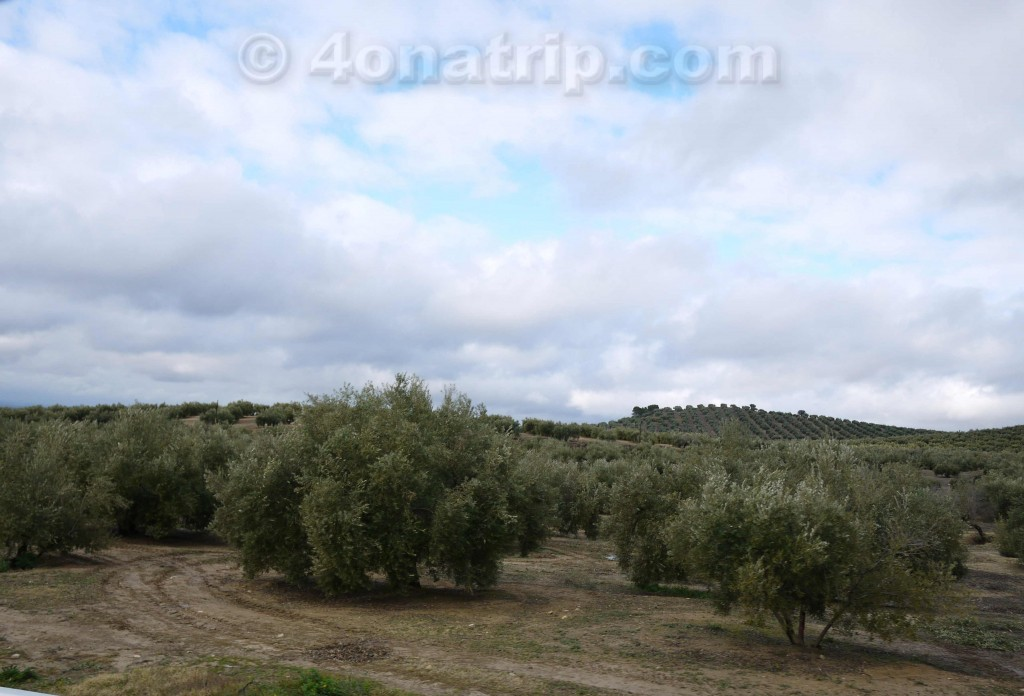 Olive hills in Spain