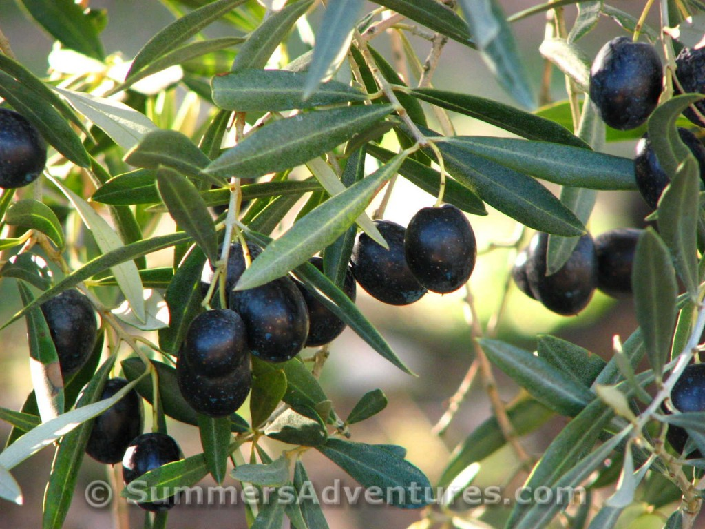 Ripe olives in Spain